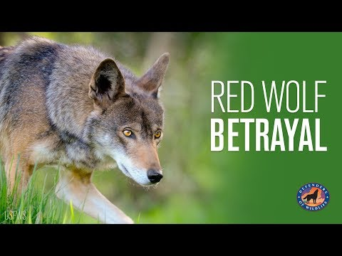 Red Wolf Betrayal