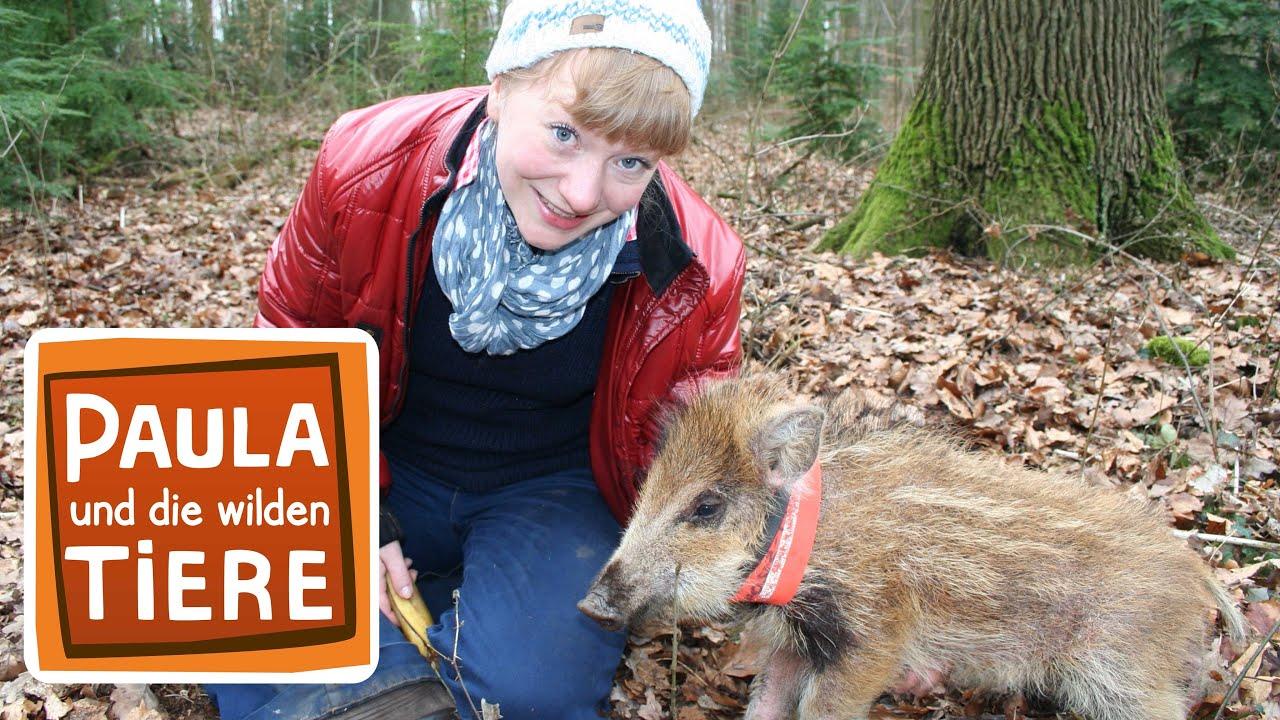 Ein Wildschwein Zum Knuddeln Doku Reportage Fur Kinder Paula Und Die Wilden Tiere Youtube