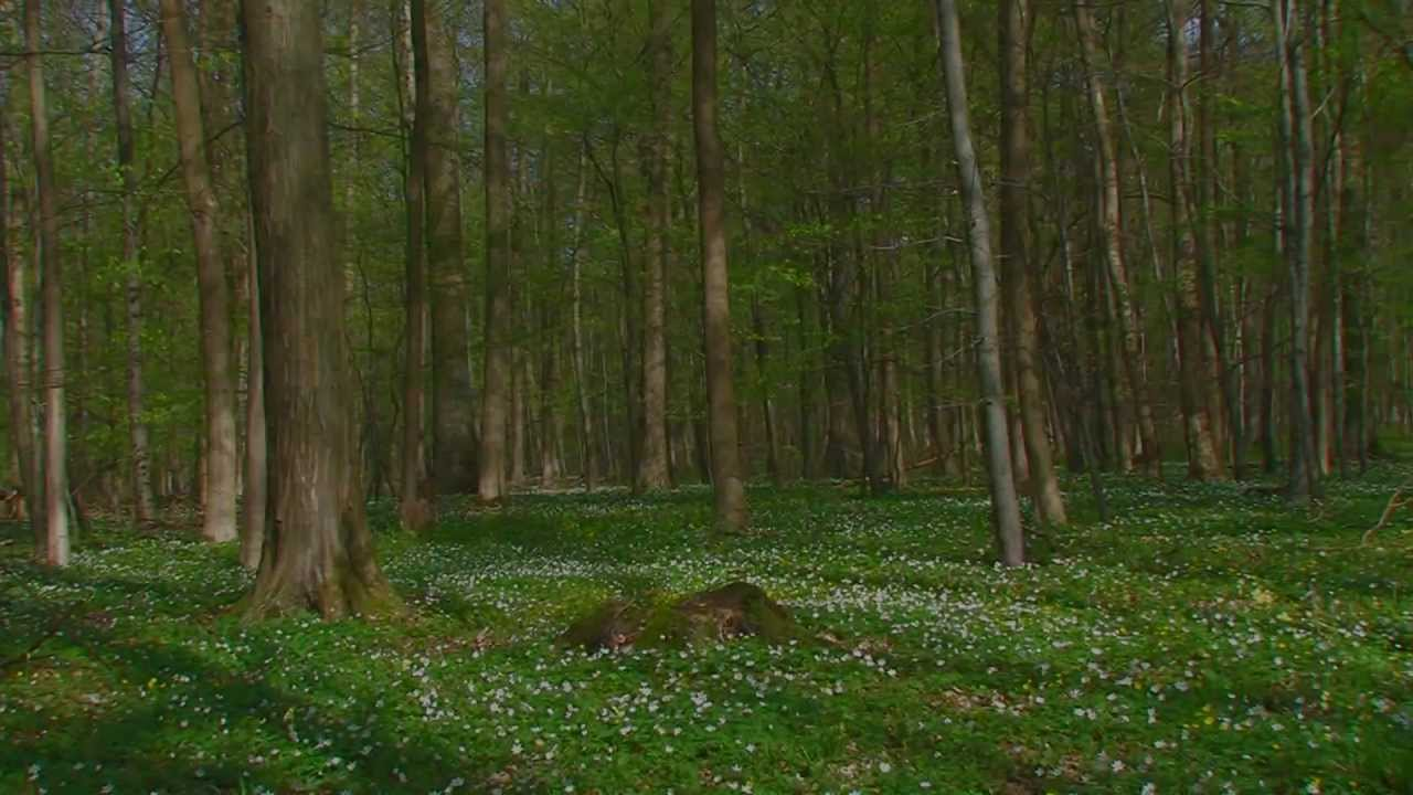 Zeitraffer Buchenwald  vom Frühling zum Sommer  YouTu