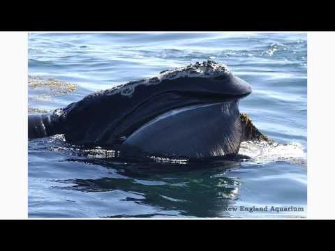 Getting it Right for the Right Whale: How New Technologies are Saving Whales