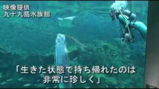 Living Oarfish 11/01/2010 リュウグウノツカイ