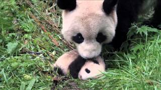Pandas: The Journey Home - See it in IMAX at Discovery Place