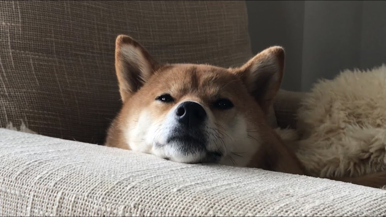 ちゃん 柴犬 ゆき