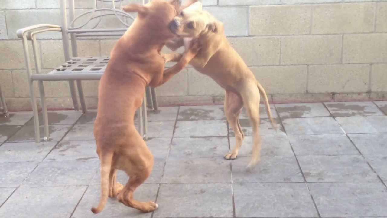 two jeep pups wrestling for unknown reasons!