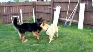 Rocko And Annie-german Shepherd Rescue Alliance Of Wi