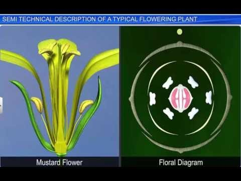 CBSE Class 11 Biology, Morphology of Flowering Plants – 7, Technical Description of Flowering Plant