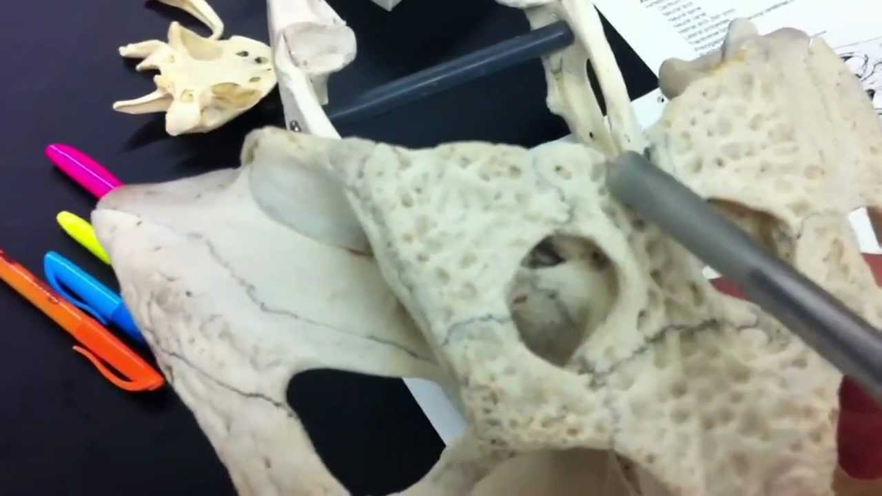 Alligator Skull - comparative vertebrate anatomy - YouTube