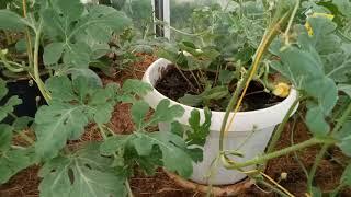 Июнь арбузы и дыни в Подмосковье завязываются, были посеяны в теплице без рассады!