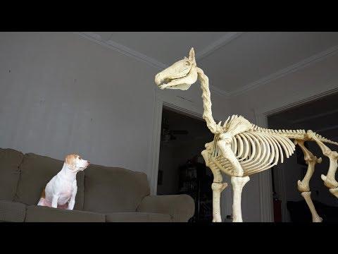 Halloween Prank: Dog vs Horse Skeleton