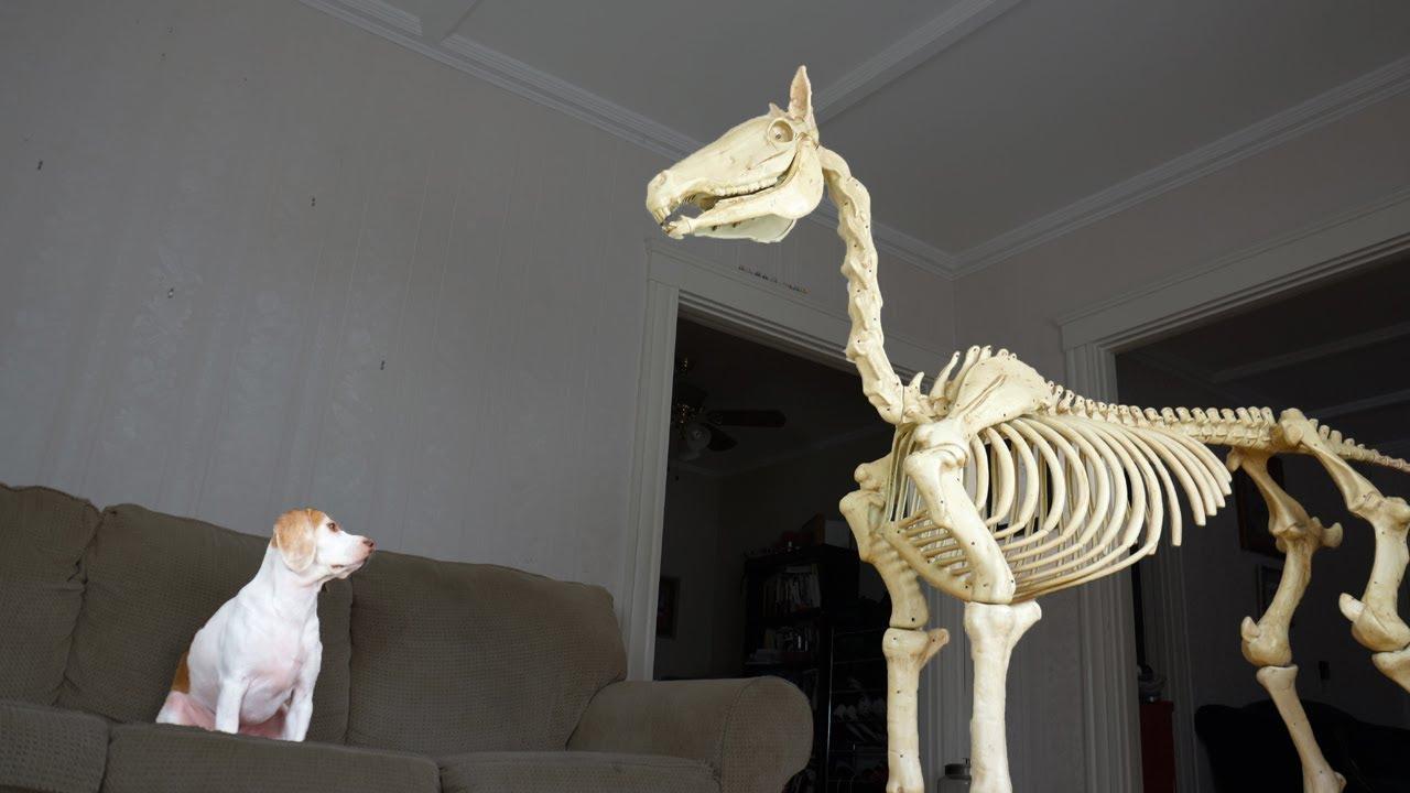 halloween prank: dog vs horse skeleton - youtube