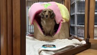 撮影ー2016/12/24 ミニチュアダックスフントさむ 1歳9ヶ月 犬用牛乳入...