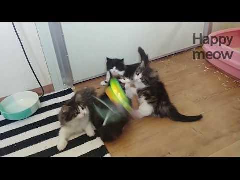 [Fromsia cattery]Kitten&Butterfly&BallNorwegian Forrest Cat&Selkirk Rex