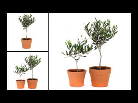 How to Care for an Olive Topiary Indoor & Outdoor