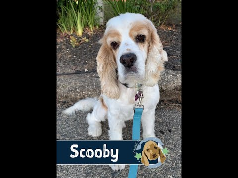 Super Cute Scooby is Available for Adoption!