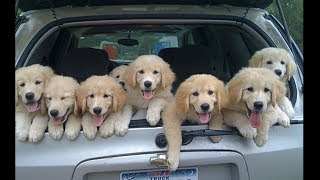 Funny and Cute Golden Retriever Puppies Compilation #3 - Cutest Golden Retriever