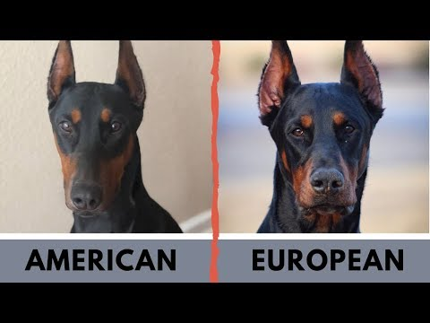 American Doberman vs European Doberman Difference