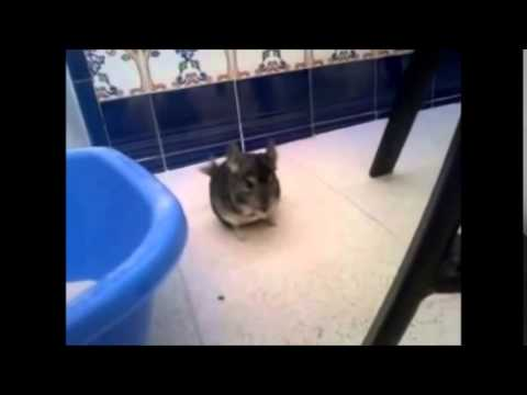chinchillas playing with cats, rabbits, dogs and cats ... jumping, running