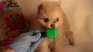 Andrea ****white Female Merle Teddy Bear Pomeranian Blue Eyes Houston Tx Candylandpoms.com