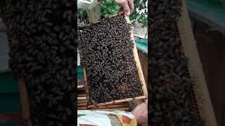 Українська степова бджола - найкраща!!!