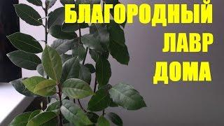 Лавр благородный.(В комнатных условиях можно успешно выращивать лавр благородный (краткий обзор). Канал