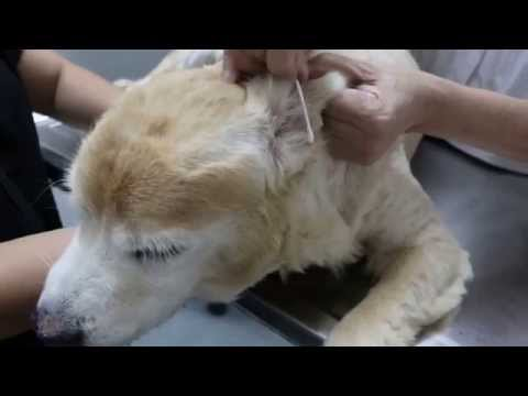 An old Golden Retriever has nasal cell carcinoma