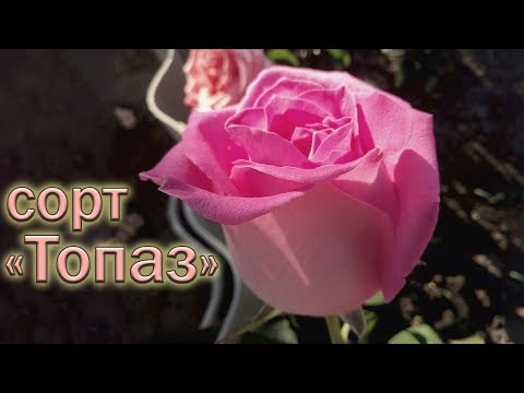 Обзор чайно-гибридных роз сорта Топаз