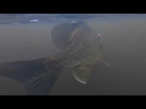 Santee Cooper Underwater Shell Cracker Action