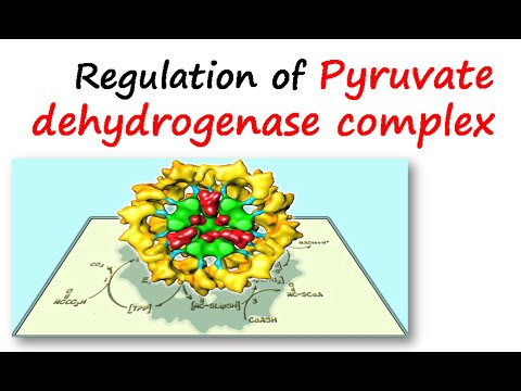 Regulation of pyruvate dehydrogenase complex