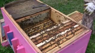 Отбор мёда из улья лежака на 24 рамки (расширенная версия 1)