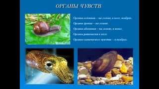 Тип Моллюски.AVI