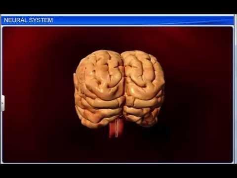 cbse class 11 biology, neural control and coordination \u2013 1, neural