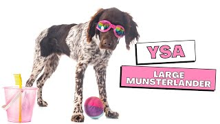 All Dogs Breeds  Large Munsterlander Breed Information And Personality