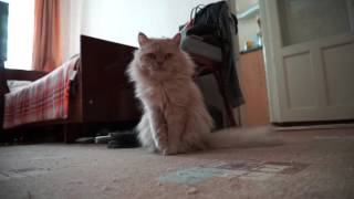 Водные процедуры// Моя кошка// Сибирская