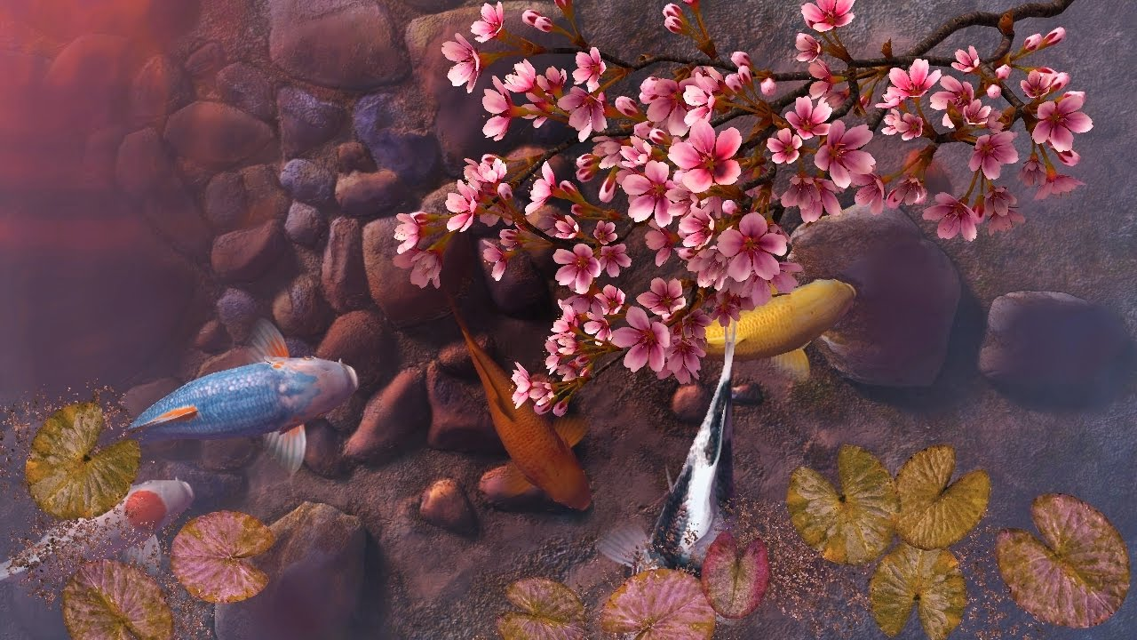 koi pond sakura 3d screensaver live wallpaper hd youtube