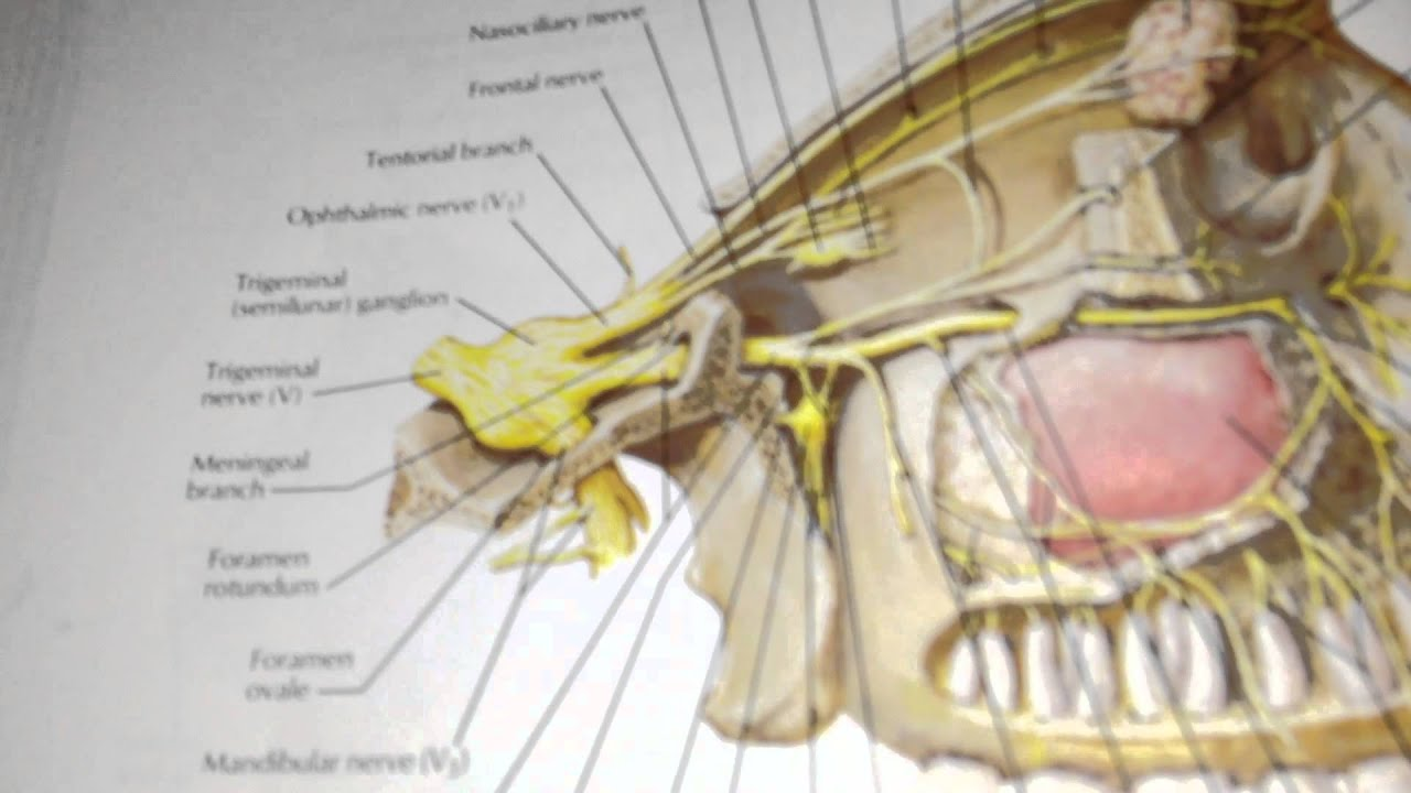 section c - question 13 - maxillary nerve