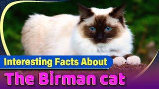 Birman Cats : Most Cutest Cat Beed!?