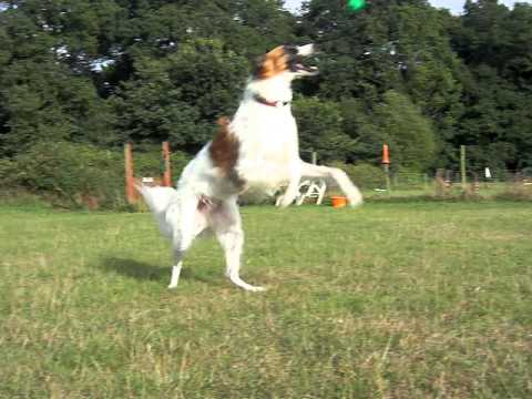 Slow motion Borzoi - Y...