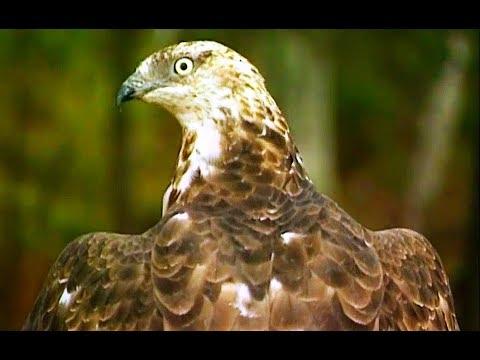Осоед (Pernis apivorus) | Film Studio Aves