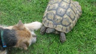 Ruby Our Border Terrier/russel Dog And Hercules The Tortoise And Guests