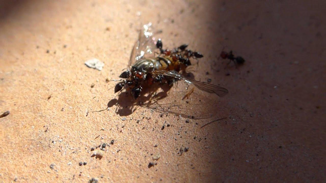Des fourmis qui mange un insecte part 1 youtube - Animal qui mange les fourmis ...