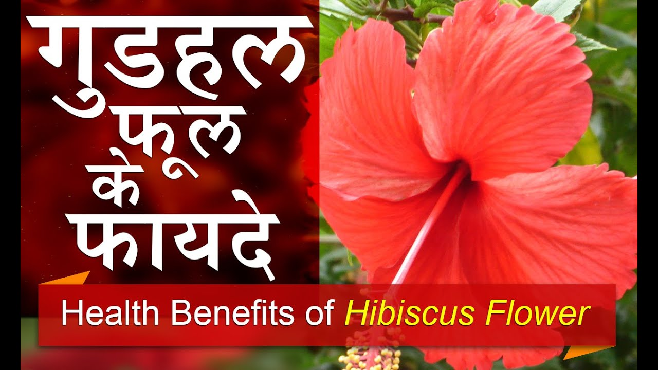 Hibiscus flower benefits in hindi the best flower of 2018 cultivation of hibiscus herb and its uses onfarming izmirmasajfo Images