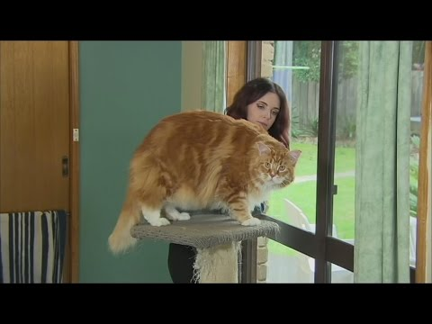 Is this cat from Melbourne the longest in the world?