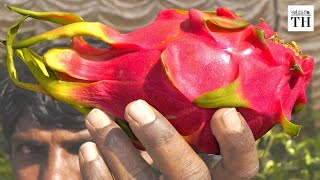 Karnataka: a leader in dragon fruit cultivation