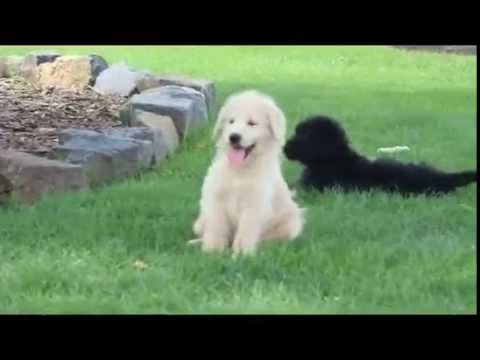Standard Poodle Mix Puppies For Sale
