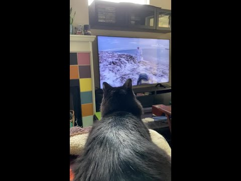 cat-watches-animal-videos-on-television