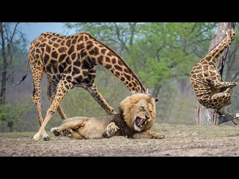 Wildlife Brave Giraffe Kick Five Lion To Save Baby - Power o