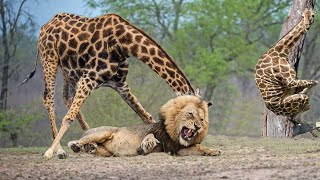Wildlife Brave Giraffe Kick Five Lion To Save Baby - Power of  LION In The Animal World But FAIL