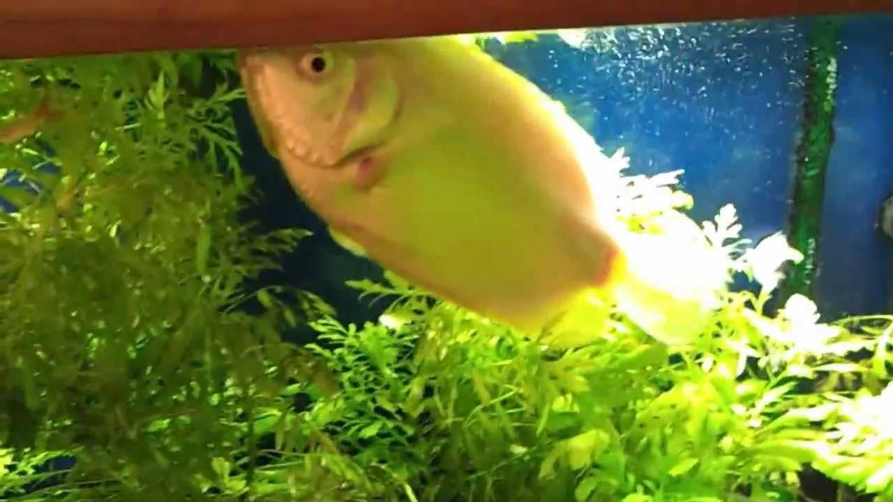 Kissing fish 23 year old kissing gourami youtube for Kissing gourami fish