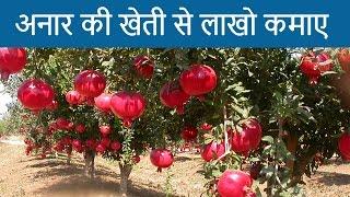 अनार की खेती से लाखो कमाए |  Earn money from pomegranate