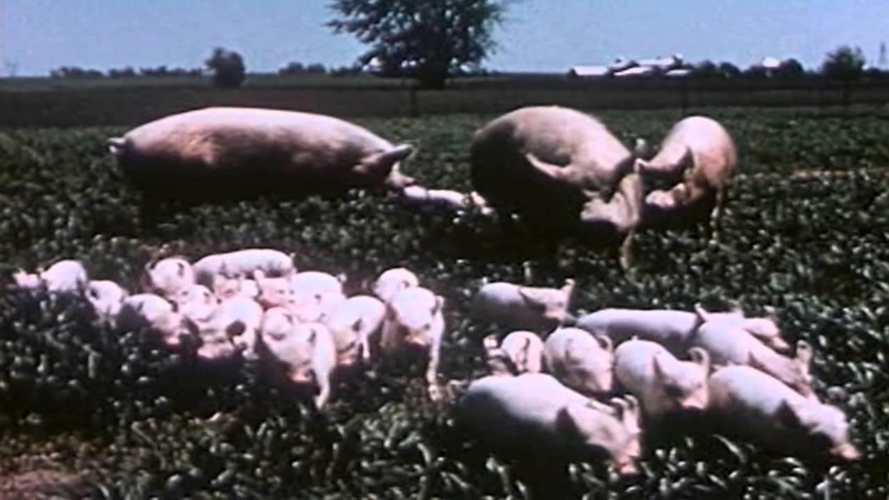 Bacon U S A Iowa Hog Farm Youtube